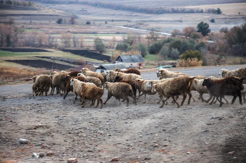 Running flock of sheep royalty free stock images