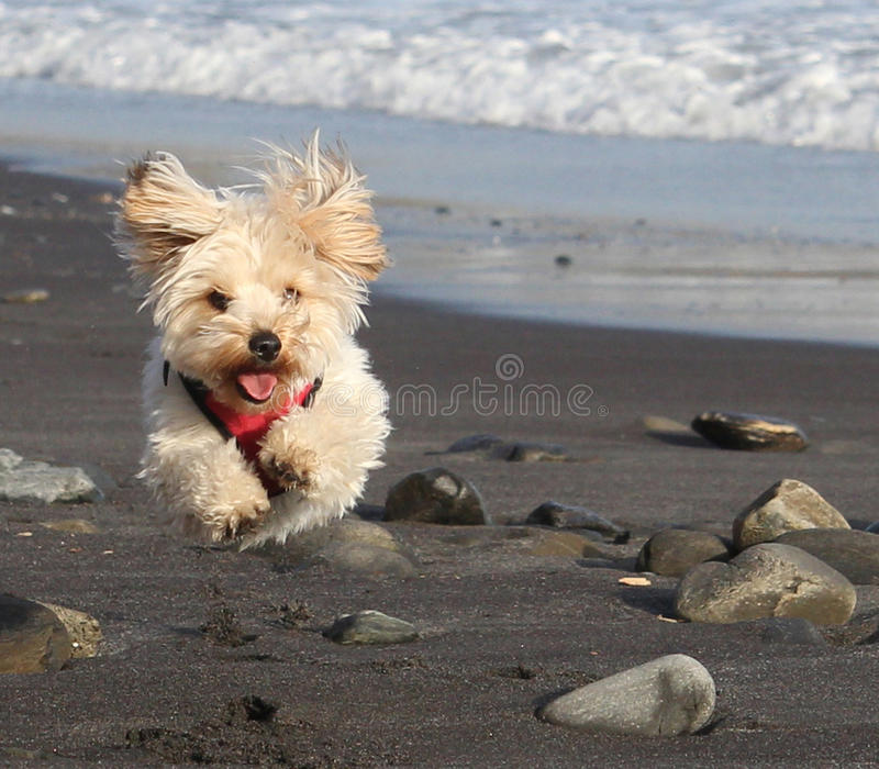 Running Flying Dog on Beach stock image