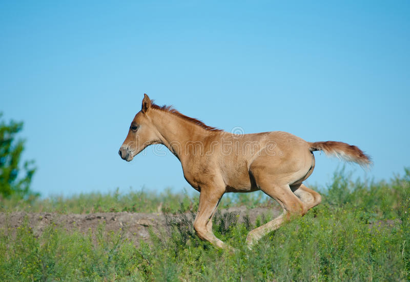 Running foal. Chestnut running foal in a field royalty free stock image