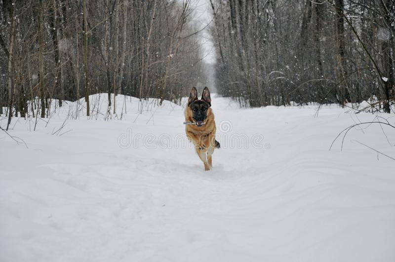 Running German Shepherd in winter stock photo