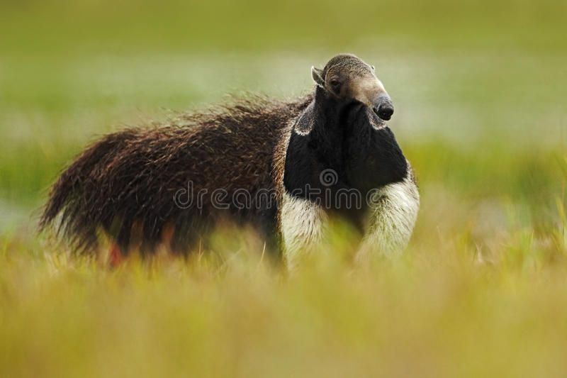 Running Giant Anteater, Myrmecophaga tridactyla, animal with long tail and log nose, in the nature habitat, Pantanal, Brazil. South America royalty free stock images