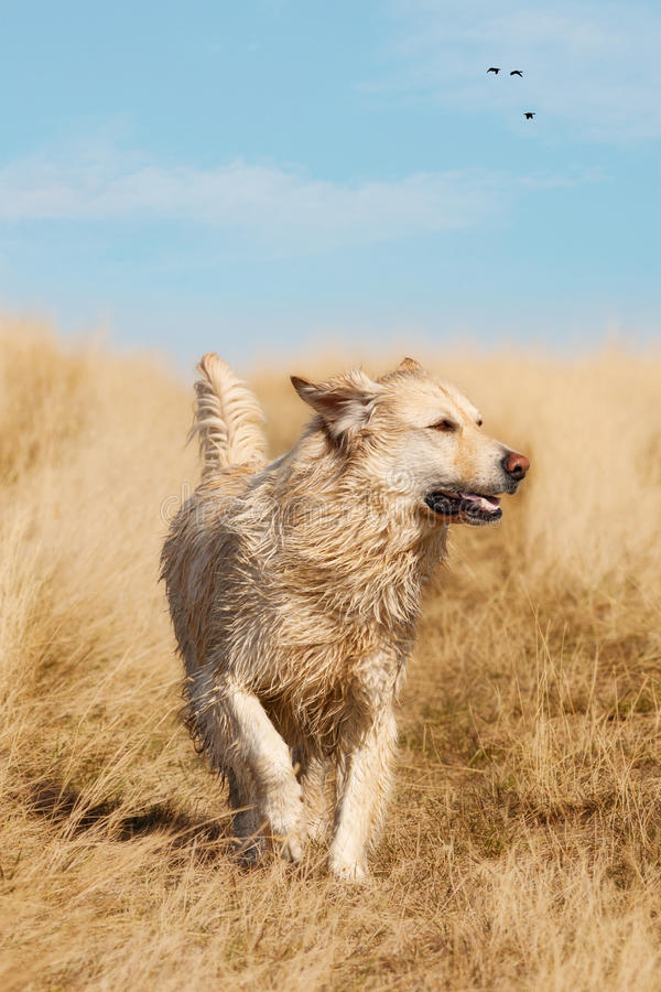 Running Golden Labrador Retriever Stock Photo