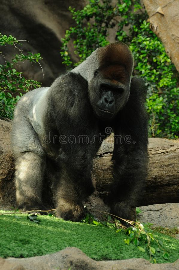 Running Gorilla. The gorilla is the biggest primate who lives in the Democratic Republic of the Congo stock photography