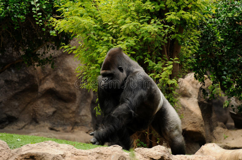 Running Gorilla. The gorilla is the biggest primate who lives in the Democratic Republic of the Congo royalty free stock images