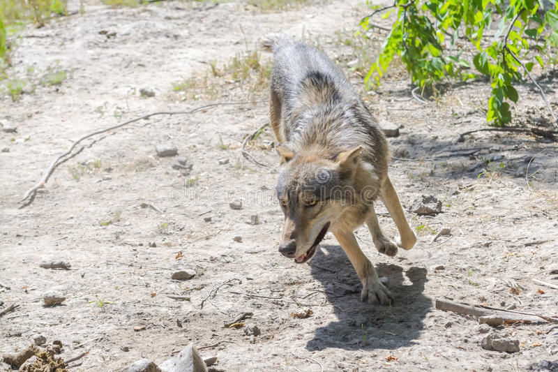 Running gray wolf (Canis lupus) royalty free stock image