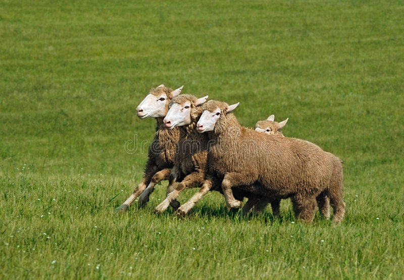 Download Running Group Of Sheep (Ovis Aries) Stock Photo - Image: 7657210