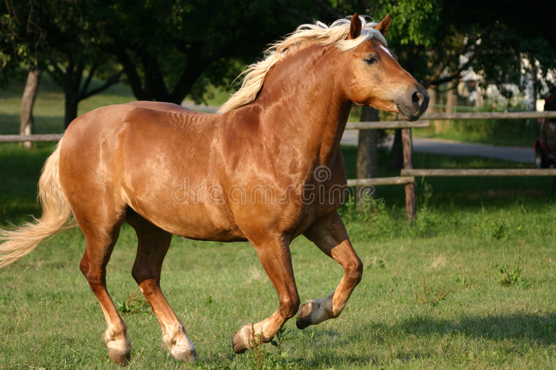Running haflinger horse. Beautiful haflinger horse cantering on a paddock royalty free stock images