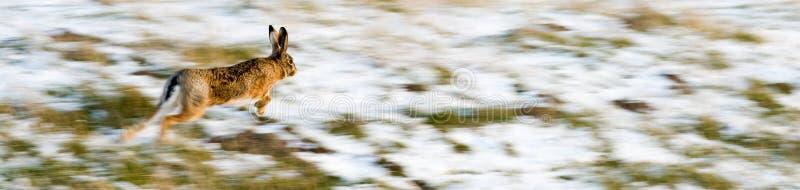 Download Running hare stock image. Image of fleeing, panning, animal - 12295397