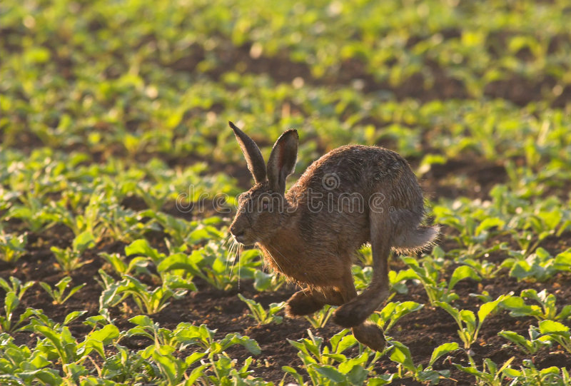 Running Hare royalty free stock image