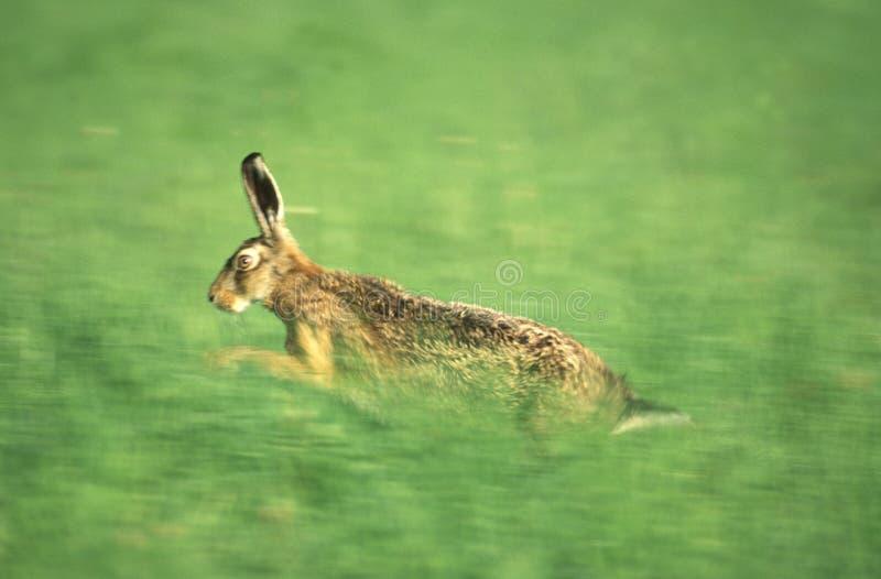Running hare stock photos