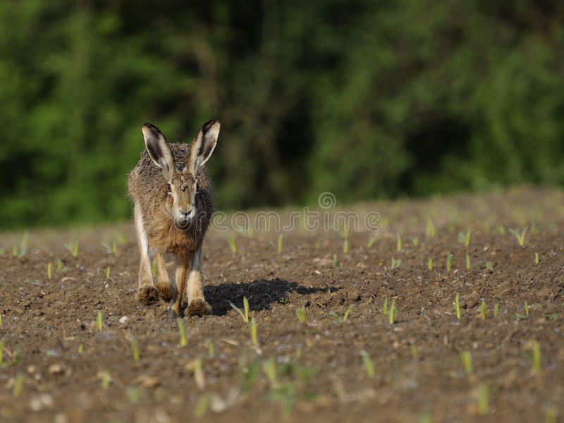 Running Hare ( Lepus europaeus ) stock image