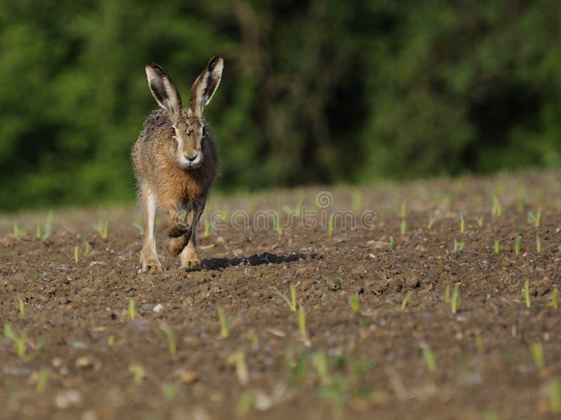 Running Hare ( Lepus europaeus ) royalty free stock image