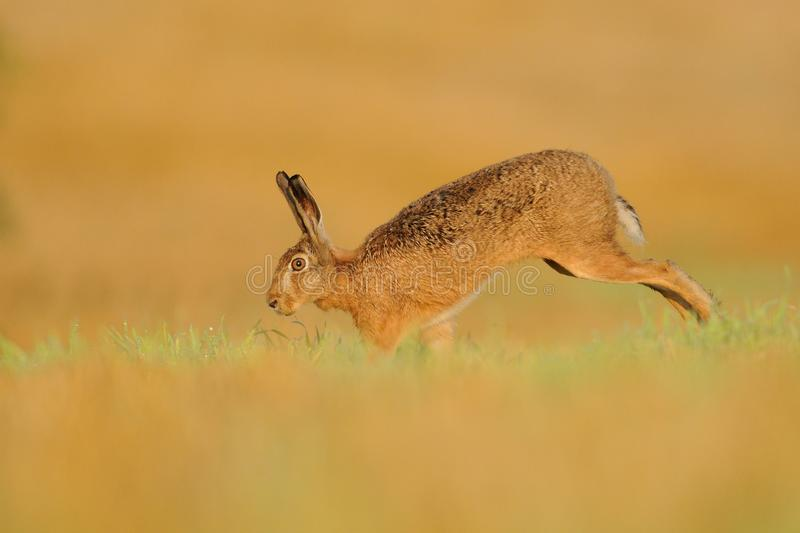 Running Hare. This hare is running over a cornfield royalty free stock images
