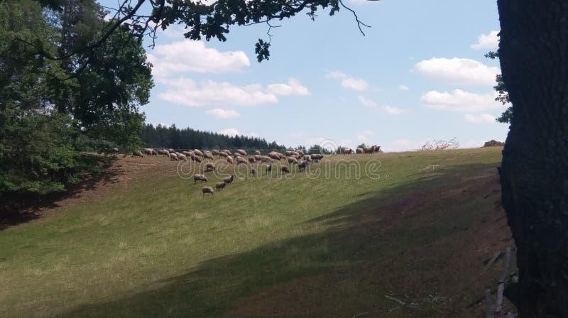 Running herd of sheep stock photography