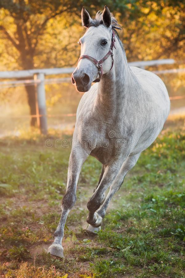 Download Running horse stock photo. Image of pets, racehorse, activity - 15193220
