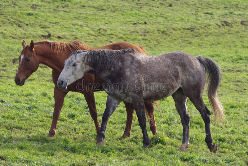 Running horse. S on the pasture royalty free stock image