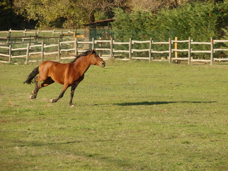 Running horse. A brown horse running in a farm royalty free stock photo