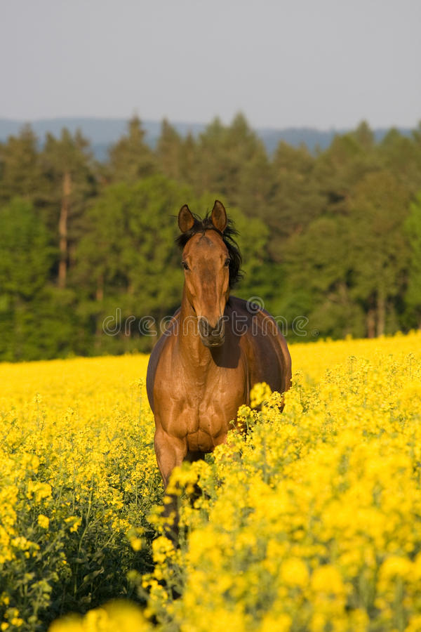 Running horse in the colza field. Running brown horse in the colza field stock images