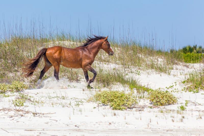 Running Horse on Cumberland Island royalty free stock images