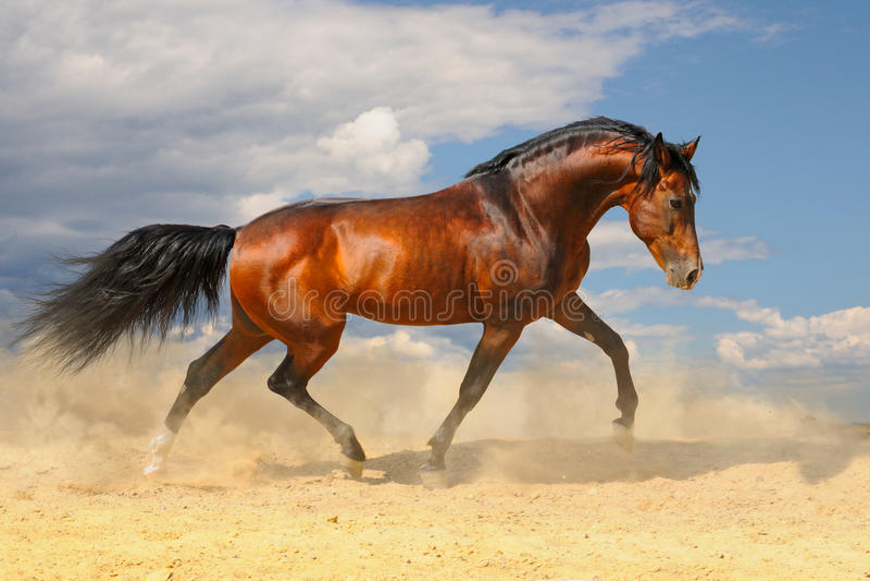 Running horse in the desert stock photography