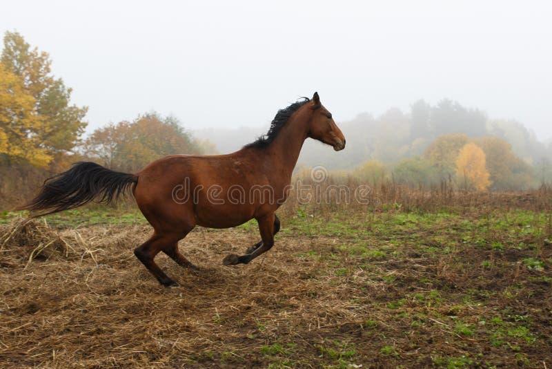 Running horse in the fog stock image