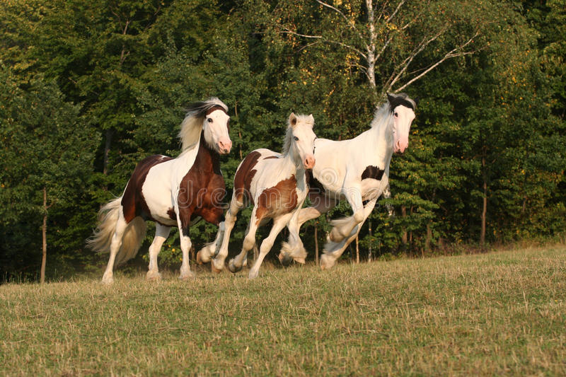 Running horses in a pasture - Irish cob stock image
