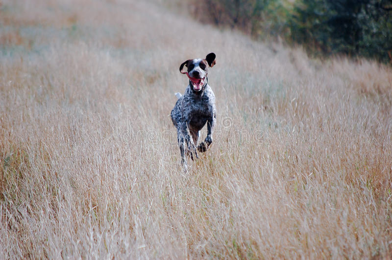 A running hunting dog