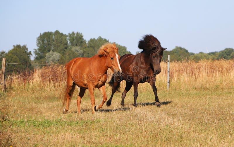 Running icelandic horses on the paddock stock photography