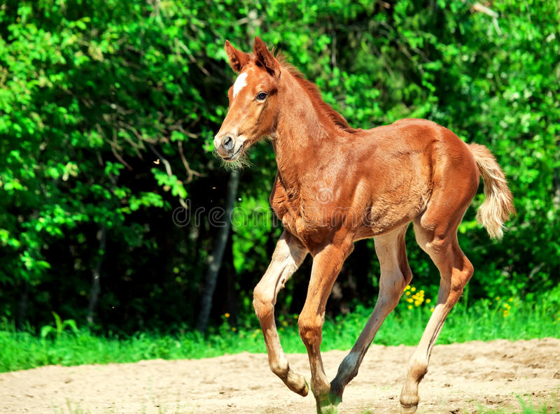 Running little chestnut foal. Sunny day stock photography
