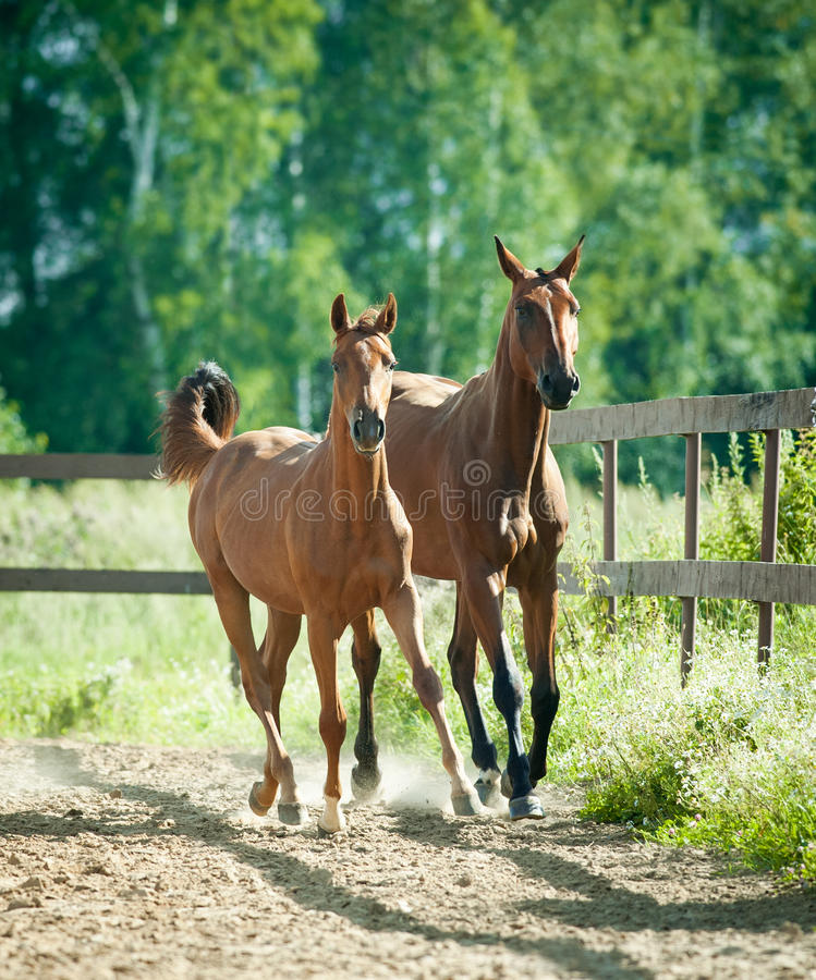 Running mare with foal. The running mare with foal royalty free stock image
