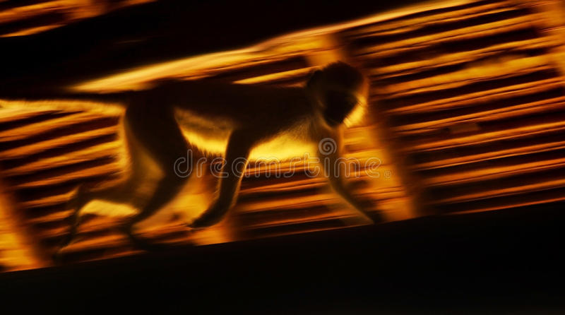 Download Running Monkey Slow Motion Royalty Free Stock Image - Image: 24959746