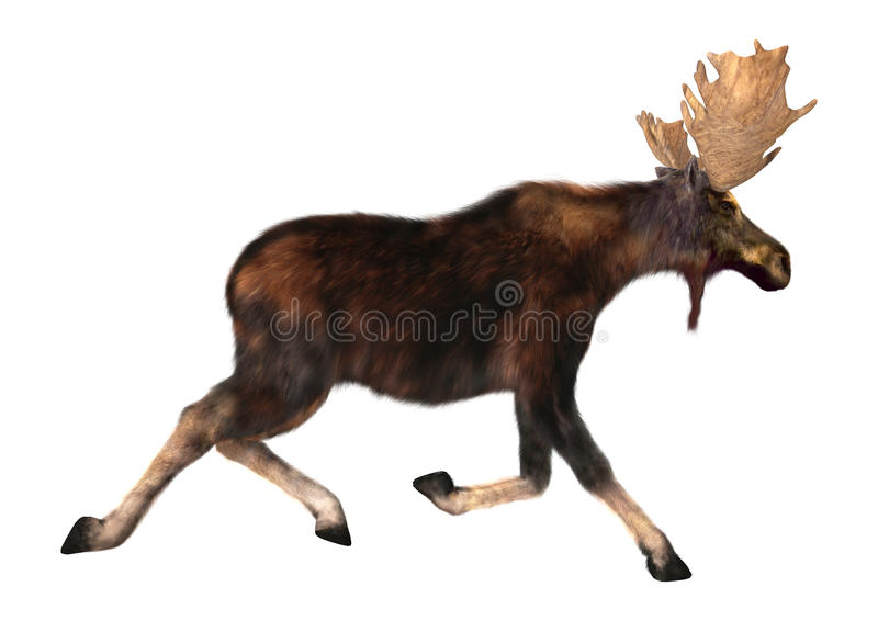 Running Moose. 3D digital render of a running moose (North America) or Eurasian elk (Europe), or Alces alces, isolated on white background stock image