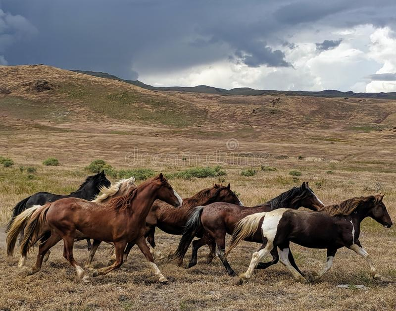 Running mustangs in desert with storm clouds in distance. Susans royalty free stock image