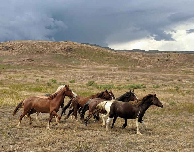 Running mustangs in desert with storm clouds in distance. Susans royalty free stock photography