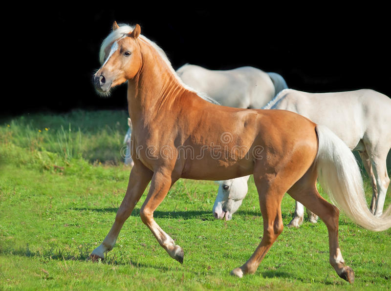 Download Running Palomino Welsh Pony Stock Image - Image of thoroughbred, cremello: 33430557