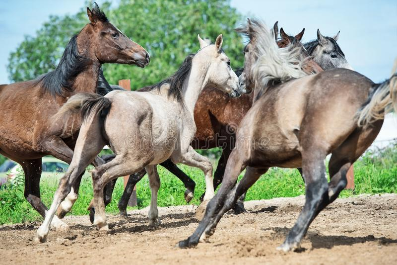 Running and playing young horses in paddock. spring season.  stock photography