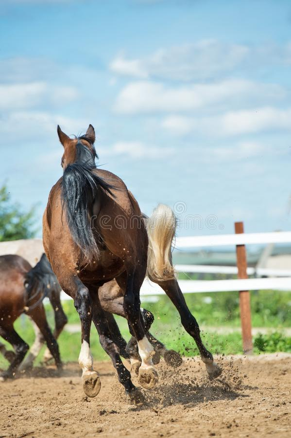 Running and playing young horses in paddock. spring season.  royalty free stock photo