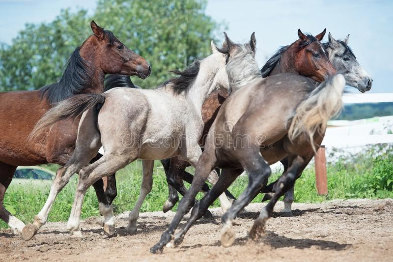 Running and playing young horses in paddock. spring season.  stock images