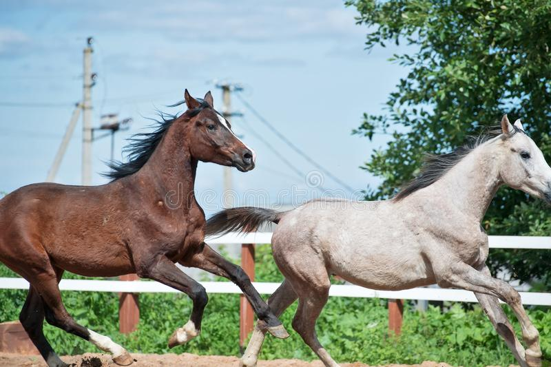 Running and playing young horses in paddock. spring season.  royalty free stock photography