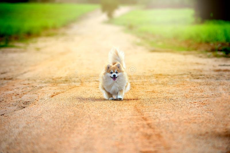 Running pomeranian dog on the road. young healthy happy. stock image