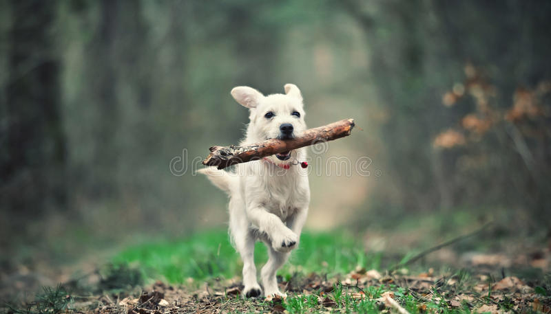 Running puppy royalty free stock photo