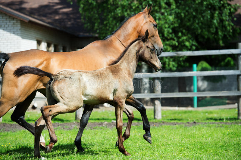 Running purebred akhalteke dam with foal in the paddock.  royalty free stock photography
