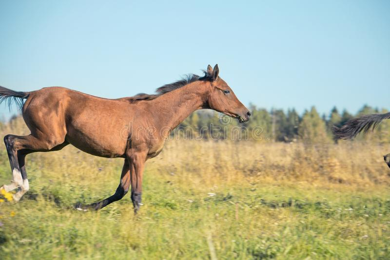 Running purebred akhateke foal in meadow.  stock photos