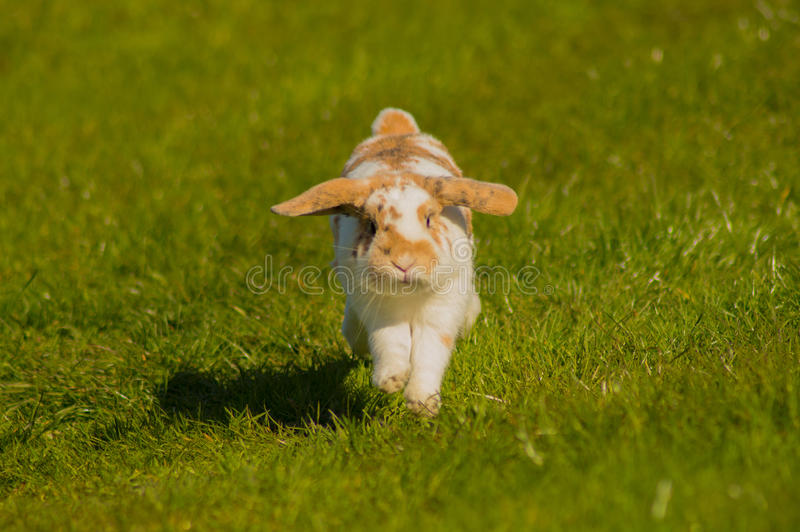 Running rabbit royalty free stock photography