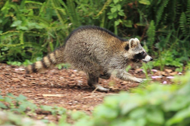Running raccoon stock photography