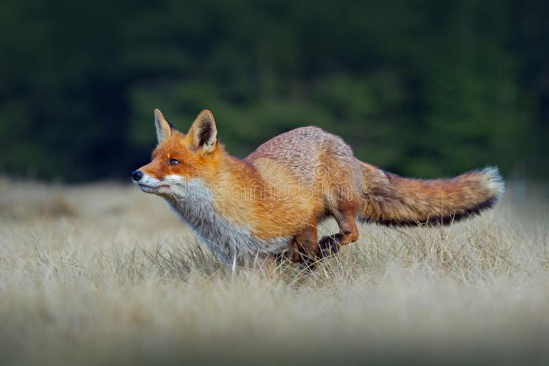 Running red fox. Running Red Fox, Vulpes vulpes, at green forest. Wildlife scene from Europe. Orange fur coat animal in the nature stock images