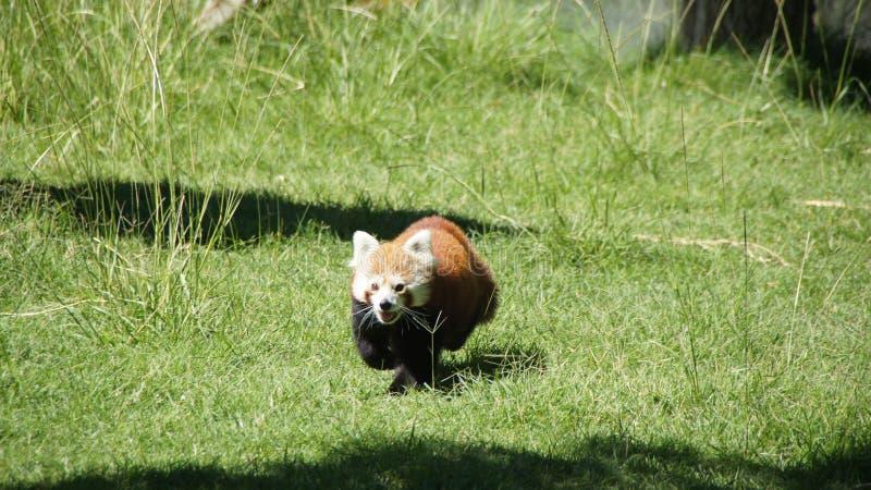 Running red panda bear royalty free stock image