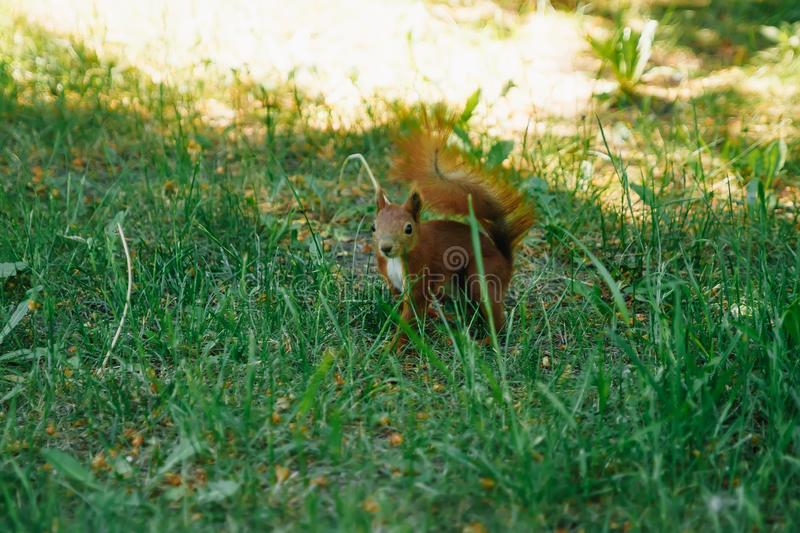 The running of the red squirrel in the park stock images