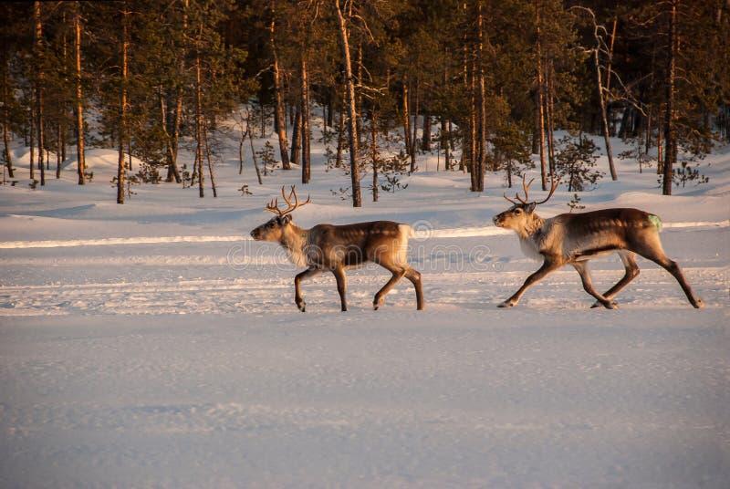 Running reindeer stock photography