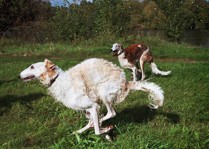 Running Rysswolfhounds Royaltyfri Fotografi